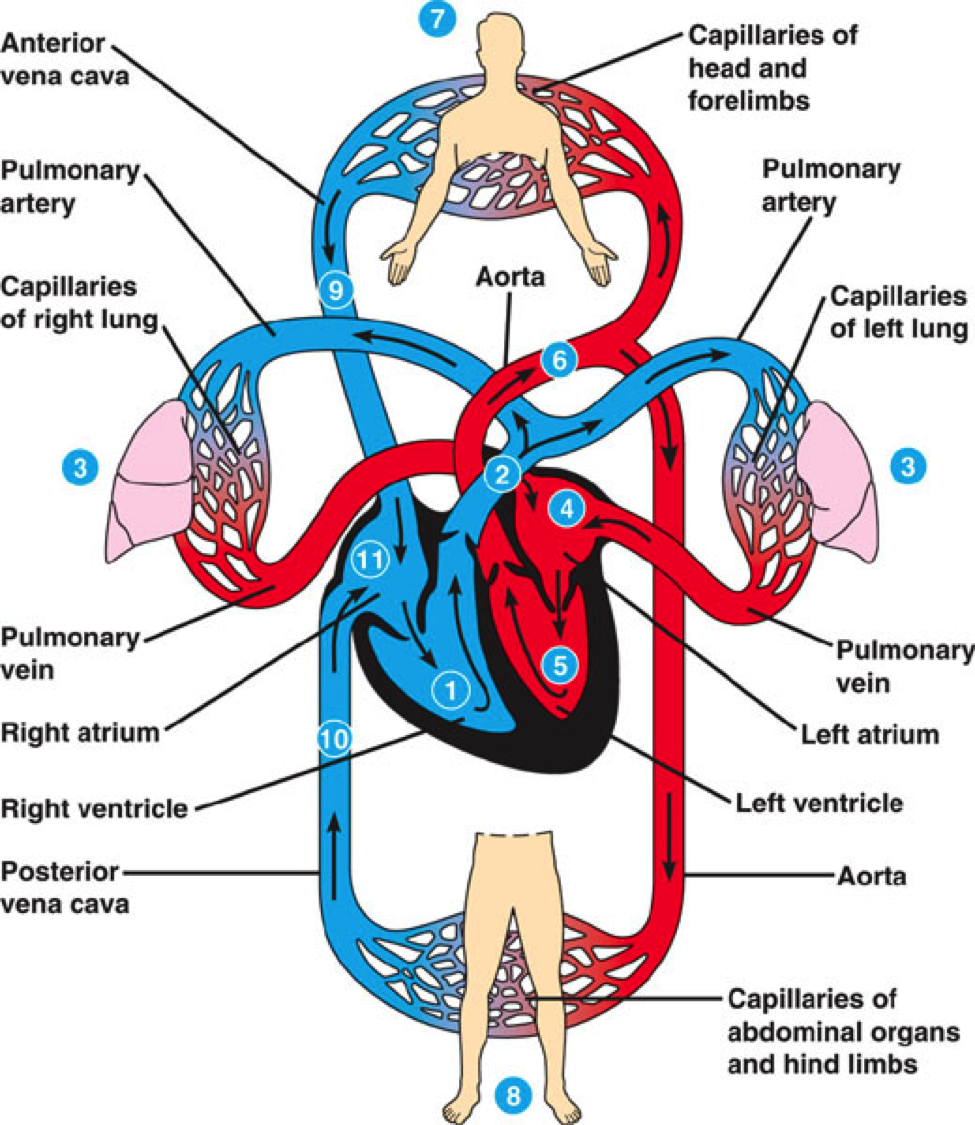 Superior And Inferior Vena Cava Diagram